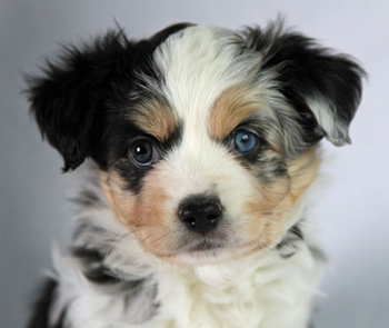 Wiseachers Hoss (Mr. Biggs) a blue merle male Miniature Aussie