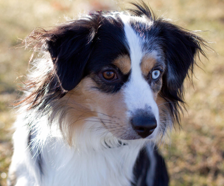 Wiseachers Miniature Australian Shepherd, Hoss (Mr. Biggs) a blue merle male Mini Aussie